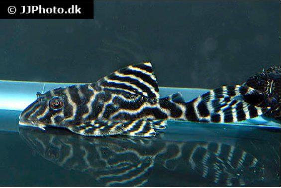 """L 129 Hypancistrus """"Columbian Zebra"""""""