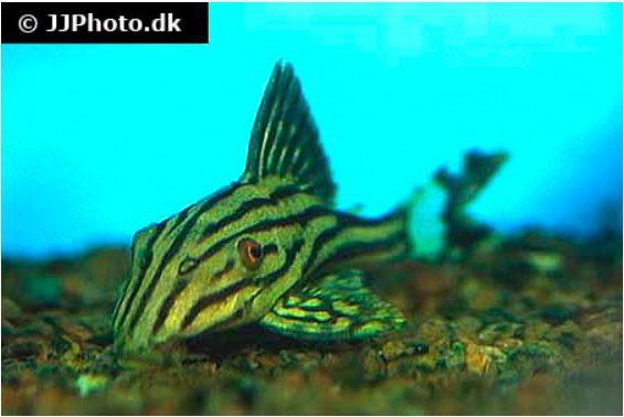 L 190 Panaque cf. nigrolineatus