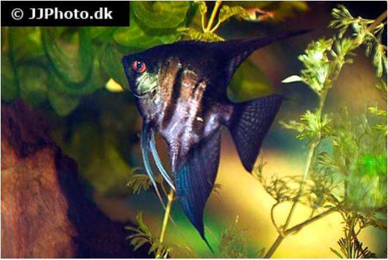 """Pterophyllum scalare """"black"""""""